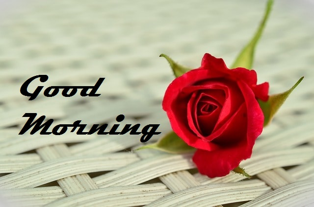 Good Morning Red Rose Amazing Images Free Download For Whatsapp