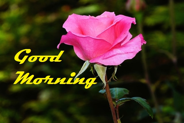 Good Morning Red Rose